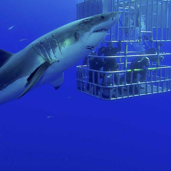 Plongée en cage tour opérateur