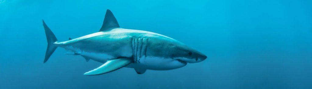 plongée en cage avec de grands requins blancs en Afrique du Sud, en Australie ou au Mexique