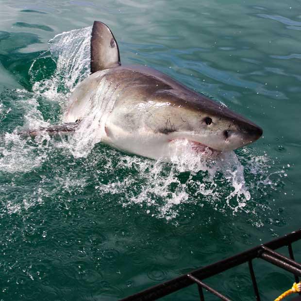 Plongée sur mesure avec les grands requins blancs