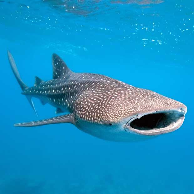 Plongée requin baleine