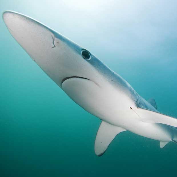 plongée Requin bleu