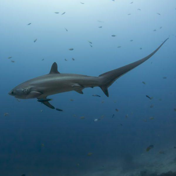 Plongée requin Renard