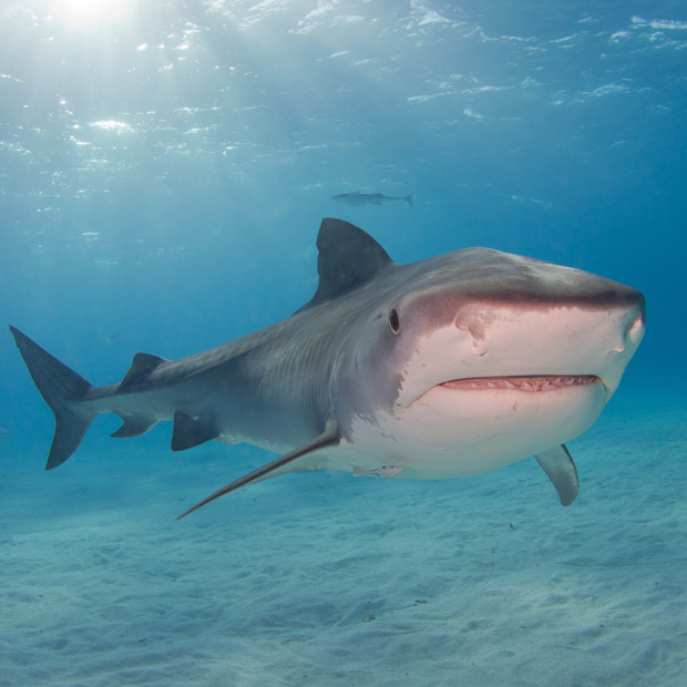Plongée requin Tigre