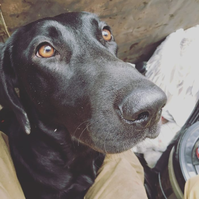 Labrador Noir de chasse