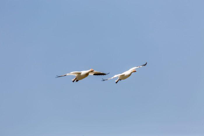 Oie blanche en approche