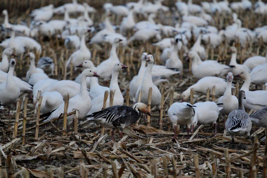 Chasse Oie blanche - Pourvoirie La Cache Outfitters