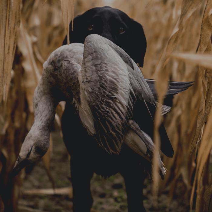 Chien de chasse aux oiseaux migrateurs