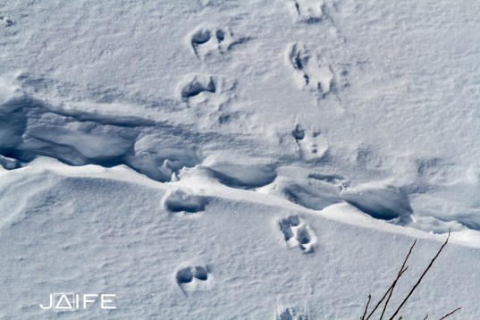 Trace de chamois - Queyras 2013