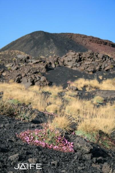 Fleurs sur l'Etna