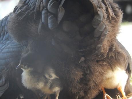 poussins sous maman poule