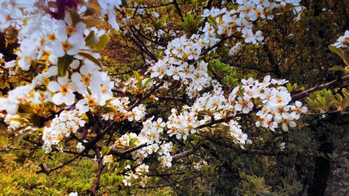 Fiori di ciliegio nella Riserva Naturale dell'Insugherata a Roma