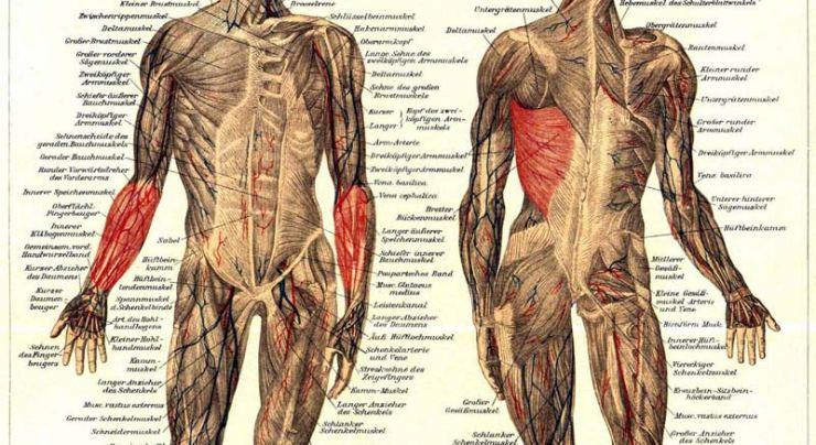 Die-primäre-Muskulatur.jpg