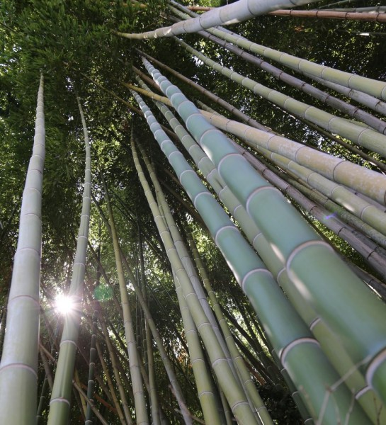 Huntington bamboo forest