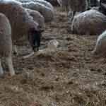 Lambing at Lackham