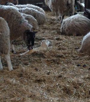 A newborn lamb.
