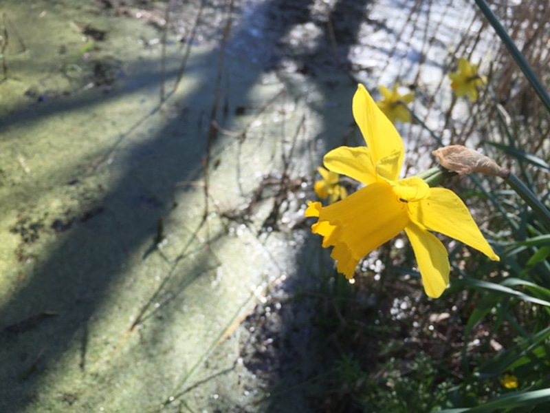 daffodil pond, spring