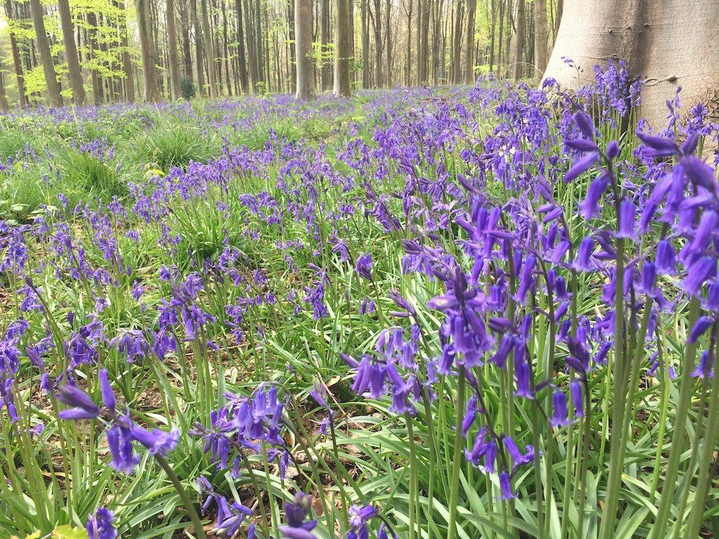 West Woods bluebells | Ladies What Travel