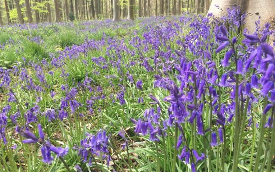 West Woods bluebells | Ladies What Travel
