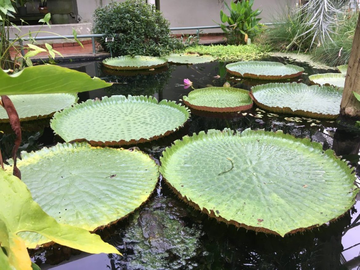 Lily pads in the Tropical Pavilion