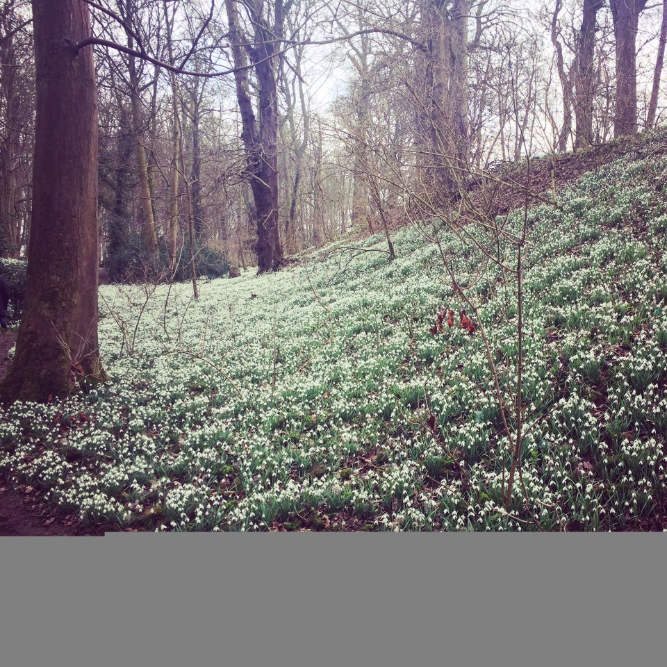 The snowdrops at Walsingham Abbey.