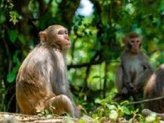 China Reports First Human Death From Rare Monkey B Virus