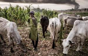 10 persons killed by stray cows in Bauchi community