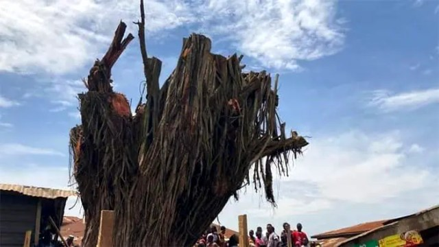 Oyo tree that fell and killed 4 people rises again