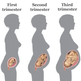 Various Stages Of Pregnancy