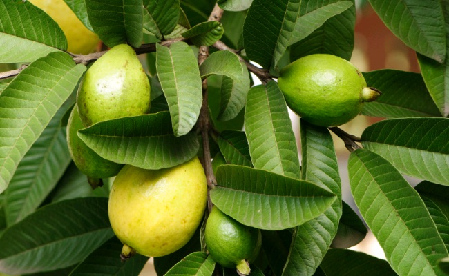 Guava & Guava Leaves