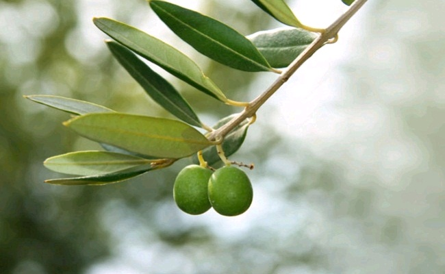 Olive Extracts