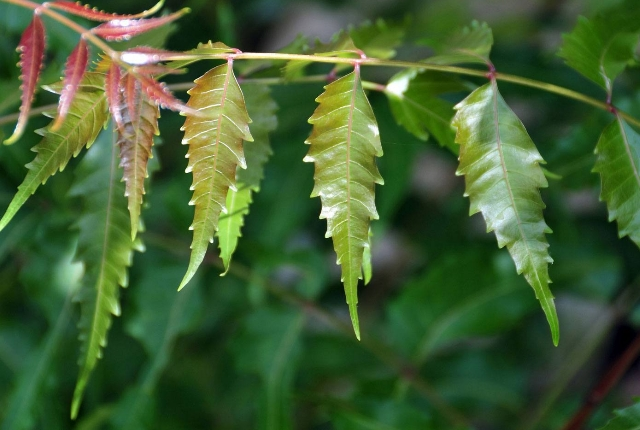 Use Azadirachta Indica Leaves