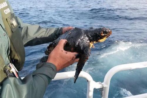 la tortuga boba marina afectada por el fuel