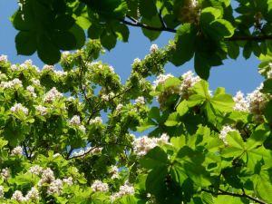 La fleur de la semaine : White Chestnut, la fleur des pensées.