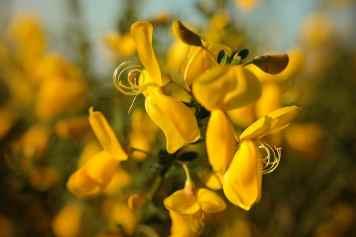 La fleur de la semaine : Gorse, la fleur de l'espoir