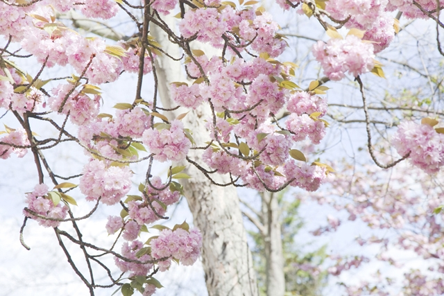 cerisiers en fleur sakura - photo Celine Marks - La Fiancee du Panda Blog Mariage et Lifestyle 8