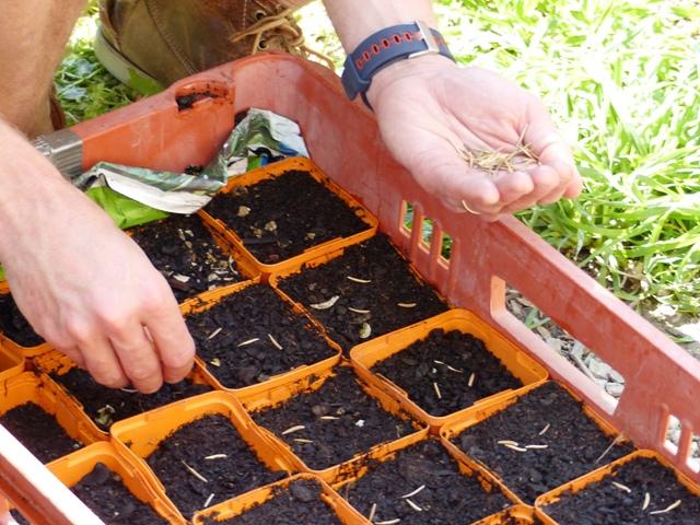 semis pépinière