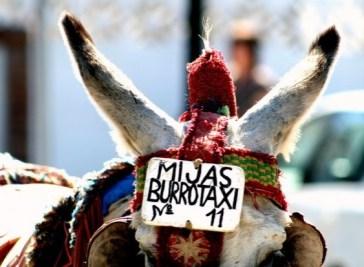 BURROTAXI (SPAGNA) – Un asino come taxi? In Andalusia, è possibile. All'origine del mezzo di trasporto è il caso. Negli anni '60 alcuni lavoratori che tornavano a casa su un asino vennero accolti con entusiasmo dai turisti, i quali chiesero di poter salire anch'essi sull'animale. Spesso le mance dai visitatori erano ben più alte dei salari degli operai. Da qui la scelta di convertire una necessità in lavoro.