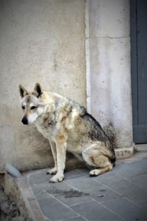 Il lupo Usha sul set
