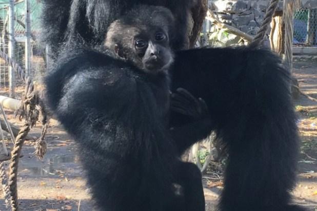 Il cucciolo di Siamango allo Zoo di Napoli