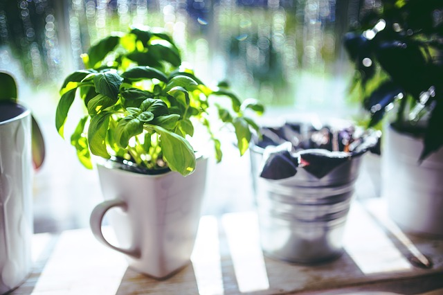 Basil growing in a cup on a windowsill.