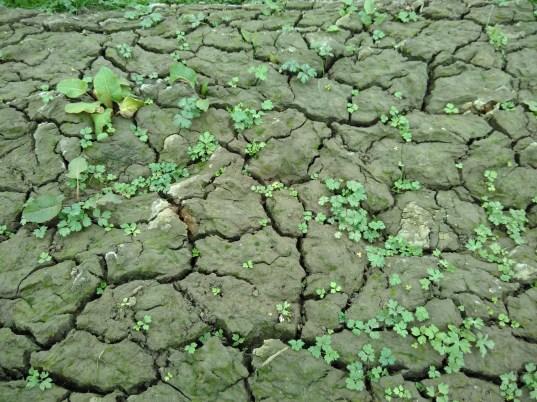 Les plantes pionnières en train de briser la boue