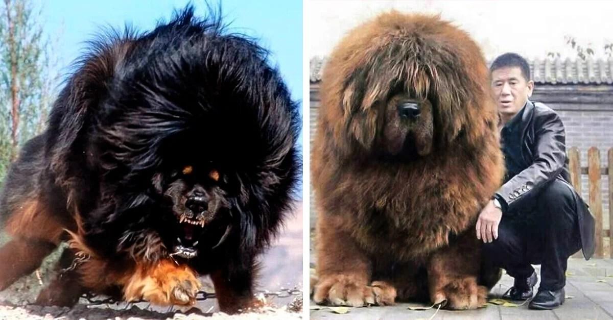 El perro ms caro del mundo el mastn tibetano es abandonado