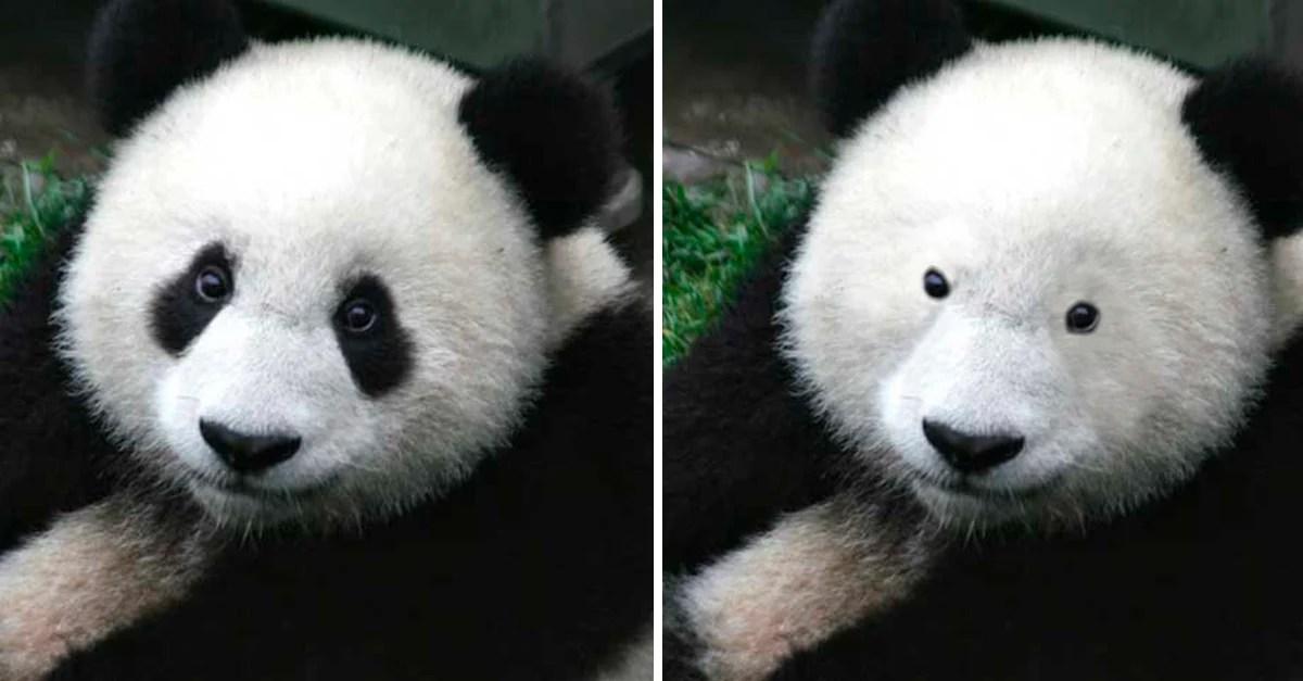 Esta es la razn de los parches en los ojos de los pandas
