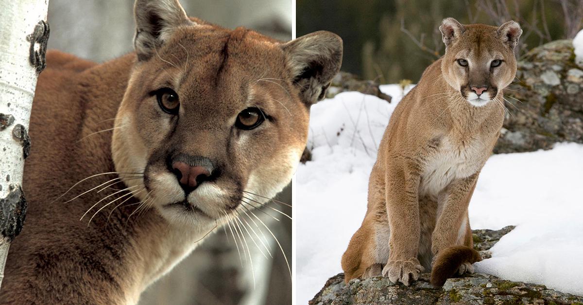 Declaran oficialmente extinto al puma del este en EE UU