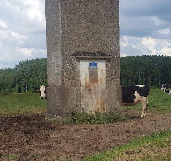 imágenes confusas vaca