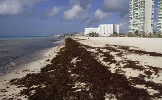 algas en playas energía