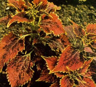 Fotografía de la planta Coleos