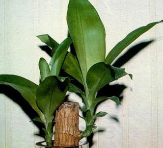 Fotografía de la planta Árbol de la felicidad
