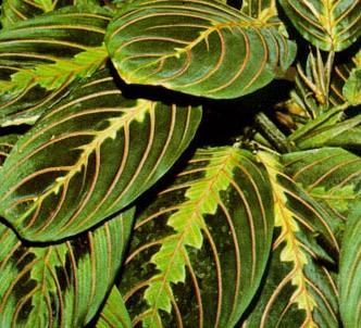 Fotografía de la planta Maranta