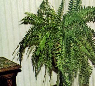 Fotografía de la planta Nefrolepis - Helecho